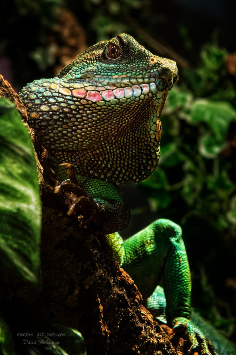 Chinese Water dragon Reptiles and amphibians, Nature animals