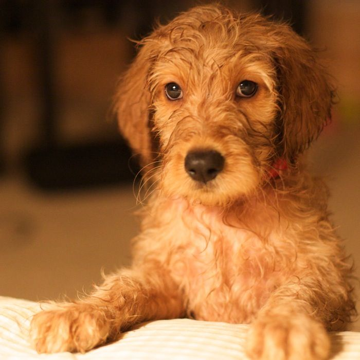 goldendoodle puppie Look at that loving face