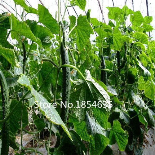 Garden Plant 100 pcs cucumber seeds colorful dutch cucumber balcony fruits and vegetables Bonsai Seed-in Bonsai from Home & Garden on Aliexpress.com | Alibaba Group