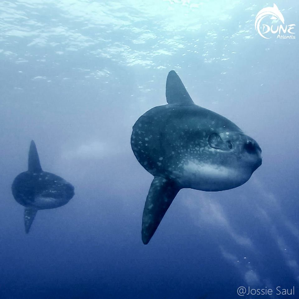 Maybe You Should Ask Where Is The Best Scuba Diving In Bali To See Sunfish Dengan Gambar