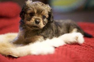 Pekalier Puppy For Sale In Seattle Wa Puppies For Sale Puppies Seattle