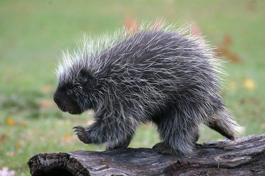 The Porcupine Walk By Cheryl Cencich Animals Funny Animals