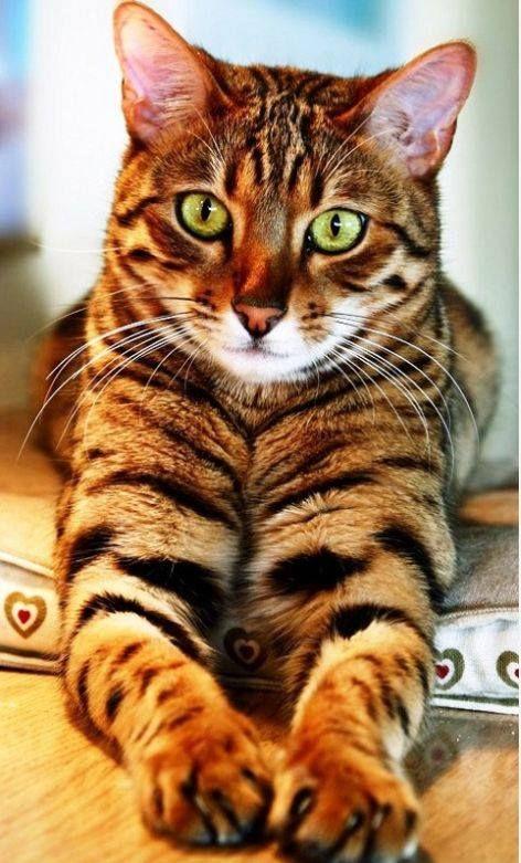 Pin Von Regine Van Buuren Auf Cat S Katten Katzen Bengal
