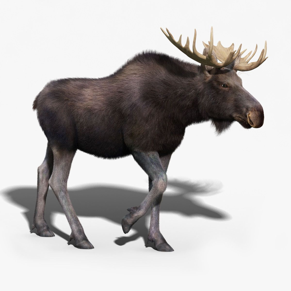 Moose FUR RIGGED by cgmobile. High Detailed Photorealistic