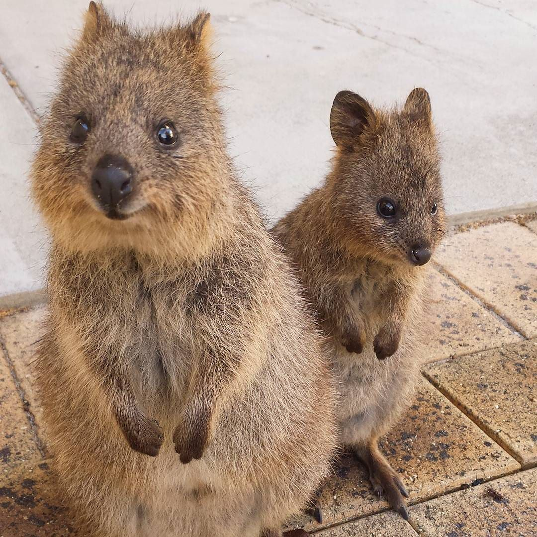 Quokkas!!! Just had a few days at Rottnest Island where