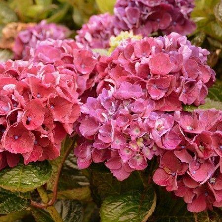 Stervinou Nursery, ericaceous plants