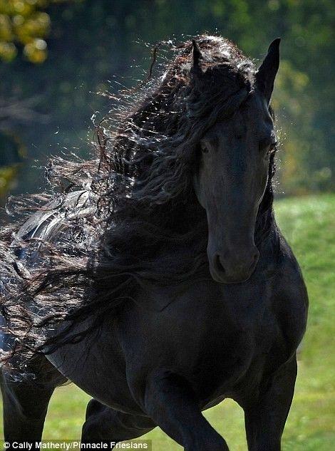 Les Plus Beau Chevaux Du Monde : chevaux, monde, Resultado, Imagen, Fotos, Caballos, Beaux, Chevaux,, Cheval, Frison