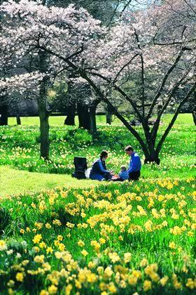 Christchurch Botanic garden: Daffodil garden outside Ch Ch Hospital. My fav place in spring.