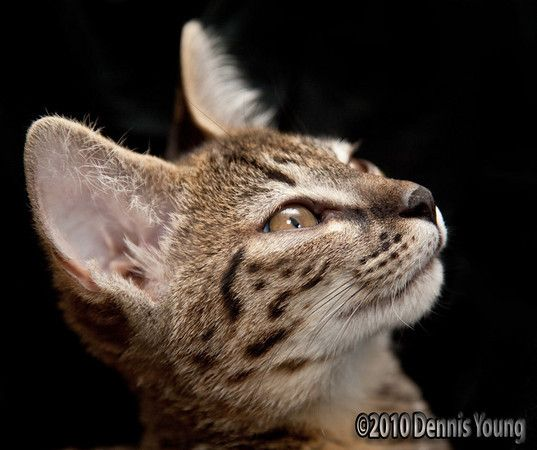 What A Pretty Face Hybrid Cat Savannah Cat Savannah Cat Breeders