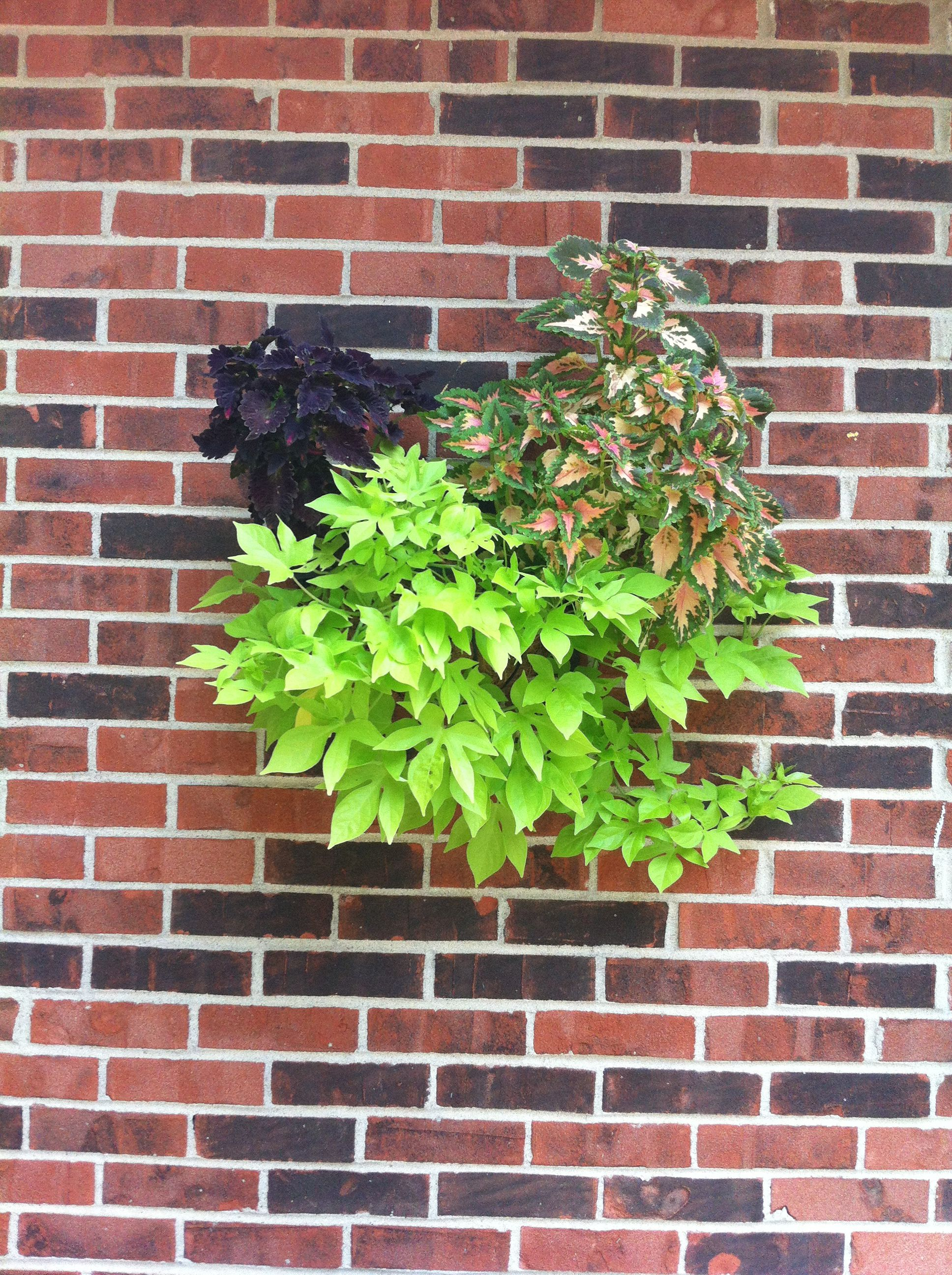 One of my half round baskets hanging on my house. Coleus and Sweet Potato Vine