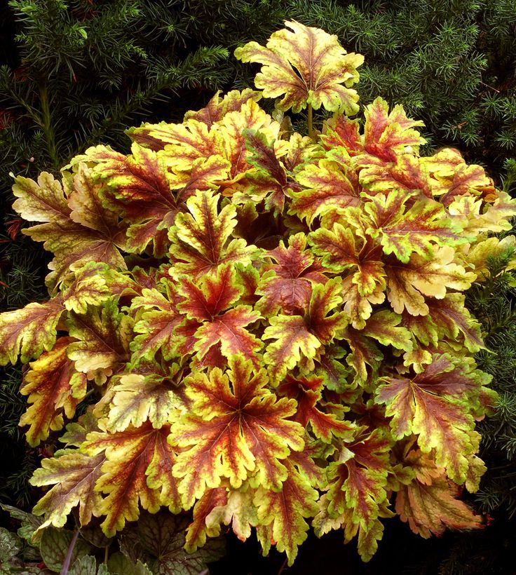Heucherella Reveal™ Golden Sizzle™ from HGTV HOME™ Plant Collection's Essential Perennials™ Program