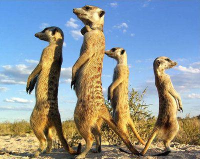meerkatties