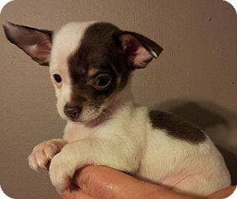 Pin By Celeste Cosimini On Dogs To Adopt Miniature Chihuahua