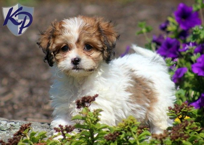 Puppy Finder Find Buy A Dog Today By Using Our Petfinder Cavachon Puppies Cavachon Puppy Finder