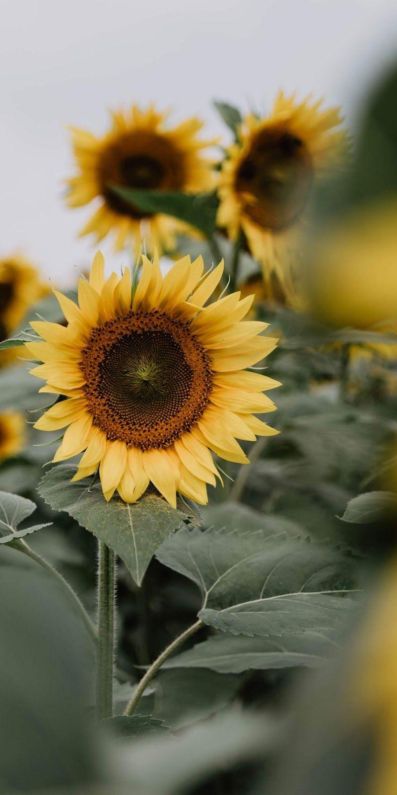 Sunflower Aesthetic Wullpapers Aesthetic Wallpapers