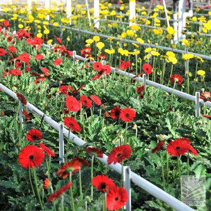 Wish You Were Here Sun Valley S Oxnard Ca Gerbera Greenhouse Greenhouse Kits For Sale Greenhouse Kit Greenhouses For Sale