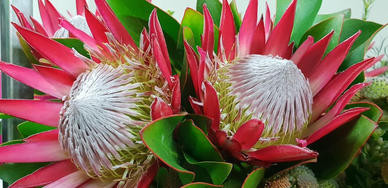 King Protea Ruby Red King Protea Flowers Foliage