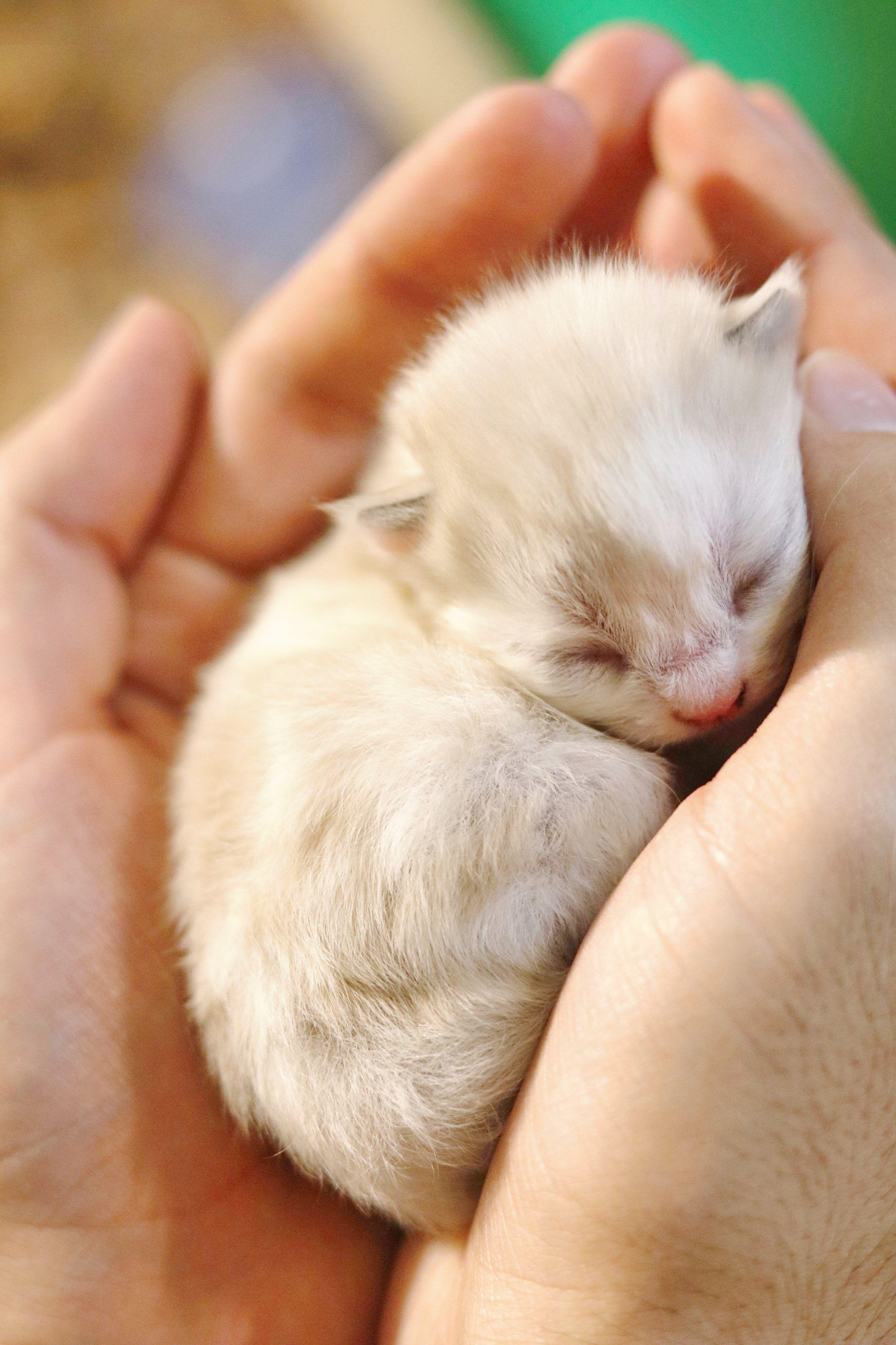 Person Holding White Kitten Photo By Sampaeez On Unsplash Image