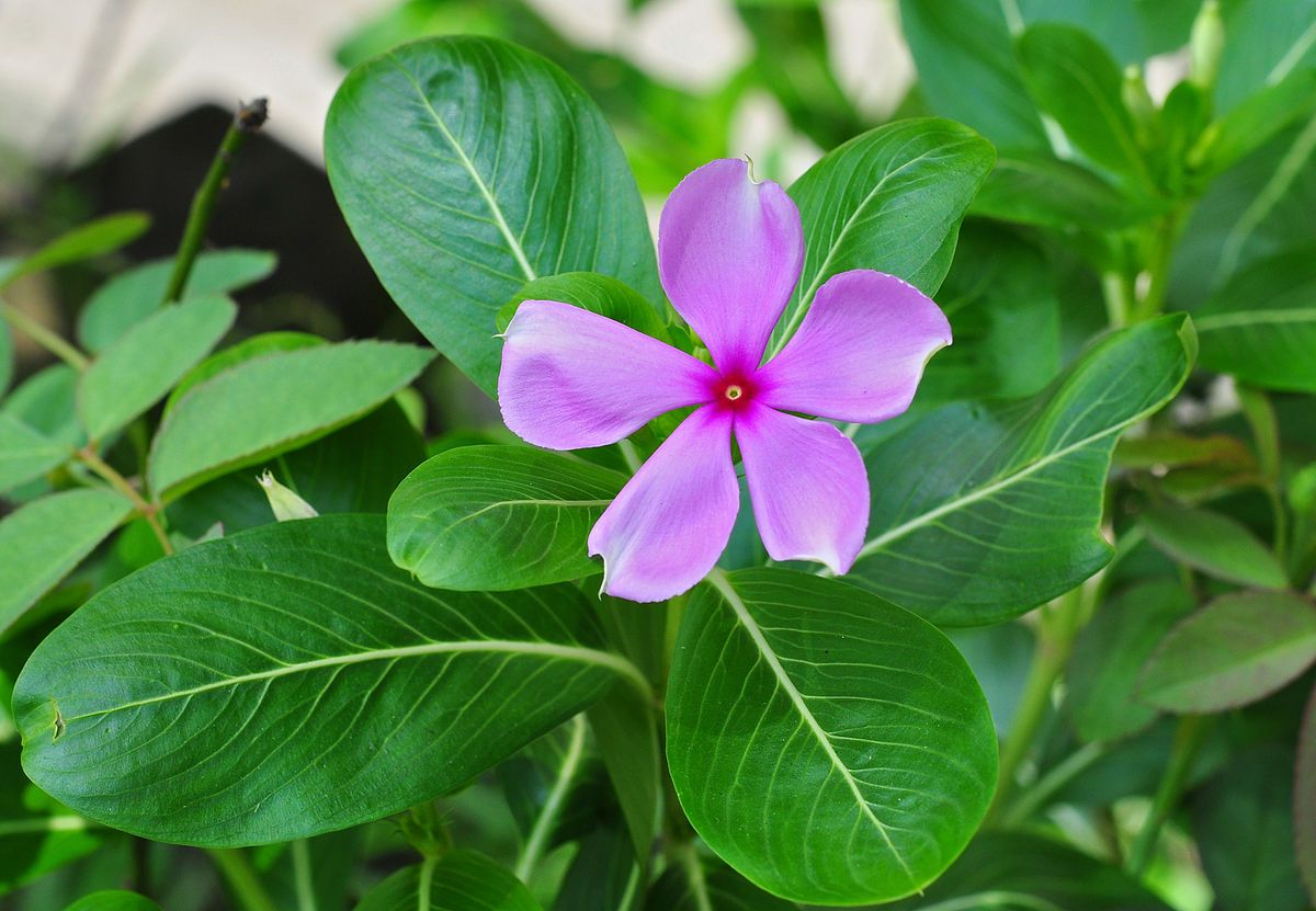 Catharanthus Roseus Wikipedia Also Known As Madagascar Periwinkle Or Sadabahar In Pakistan Periwinkle Plant Plants Annual Flowers