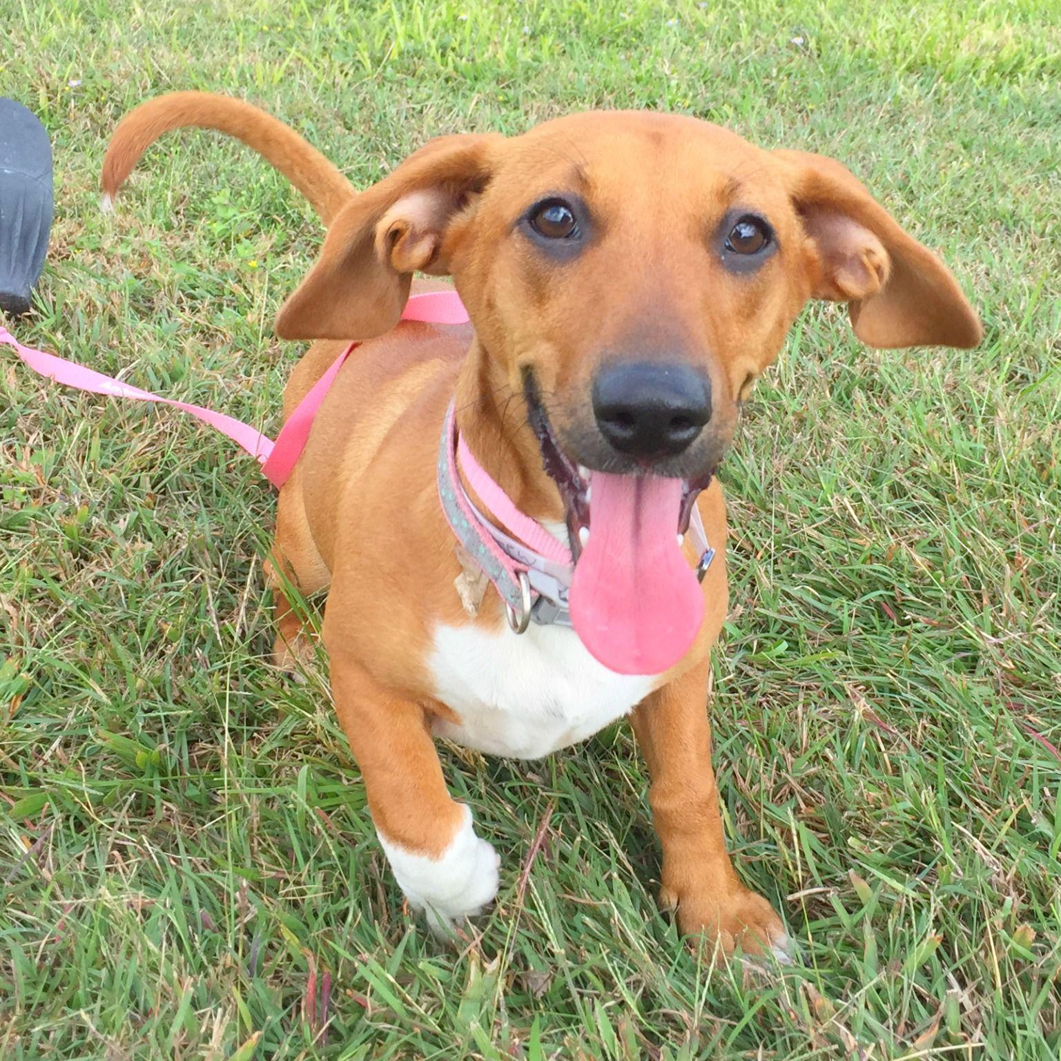 Miniature Dachshund Puppies For Adoption In Texas 2021