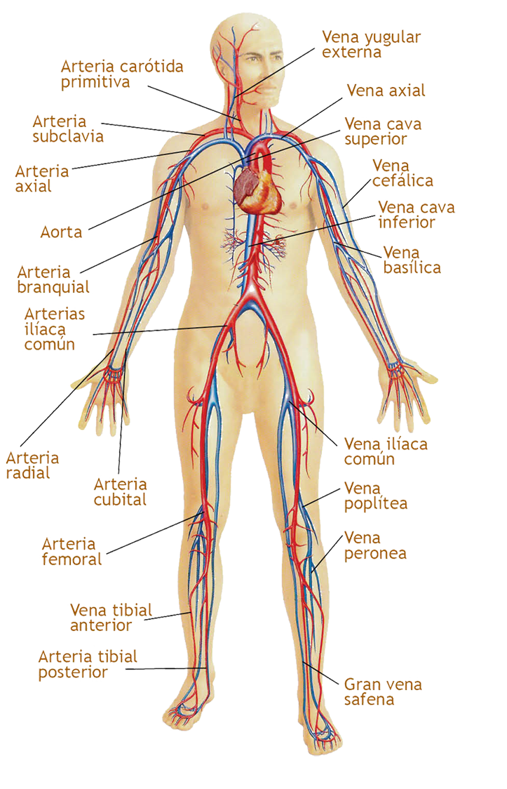 el sistema circulatorio - Enfermedades y remedios caseros | Anatomia ...