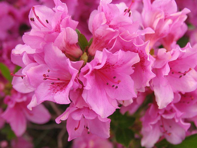Azalea Temperance Fragile Passion Chinese Symbol Of Womanhood Abundance Azalea Flower Pink Azaleas Lily Flower