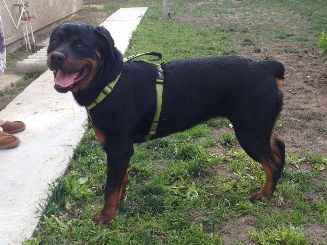 Bella S Blued Kimber 10 Month Old Female Akc German Rottweiler Kimber Is A Big Teddy Bear She Is A Protector Big Teddy Bear Big Teddy German Rottweiler