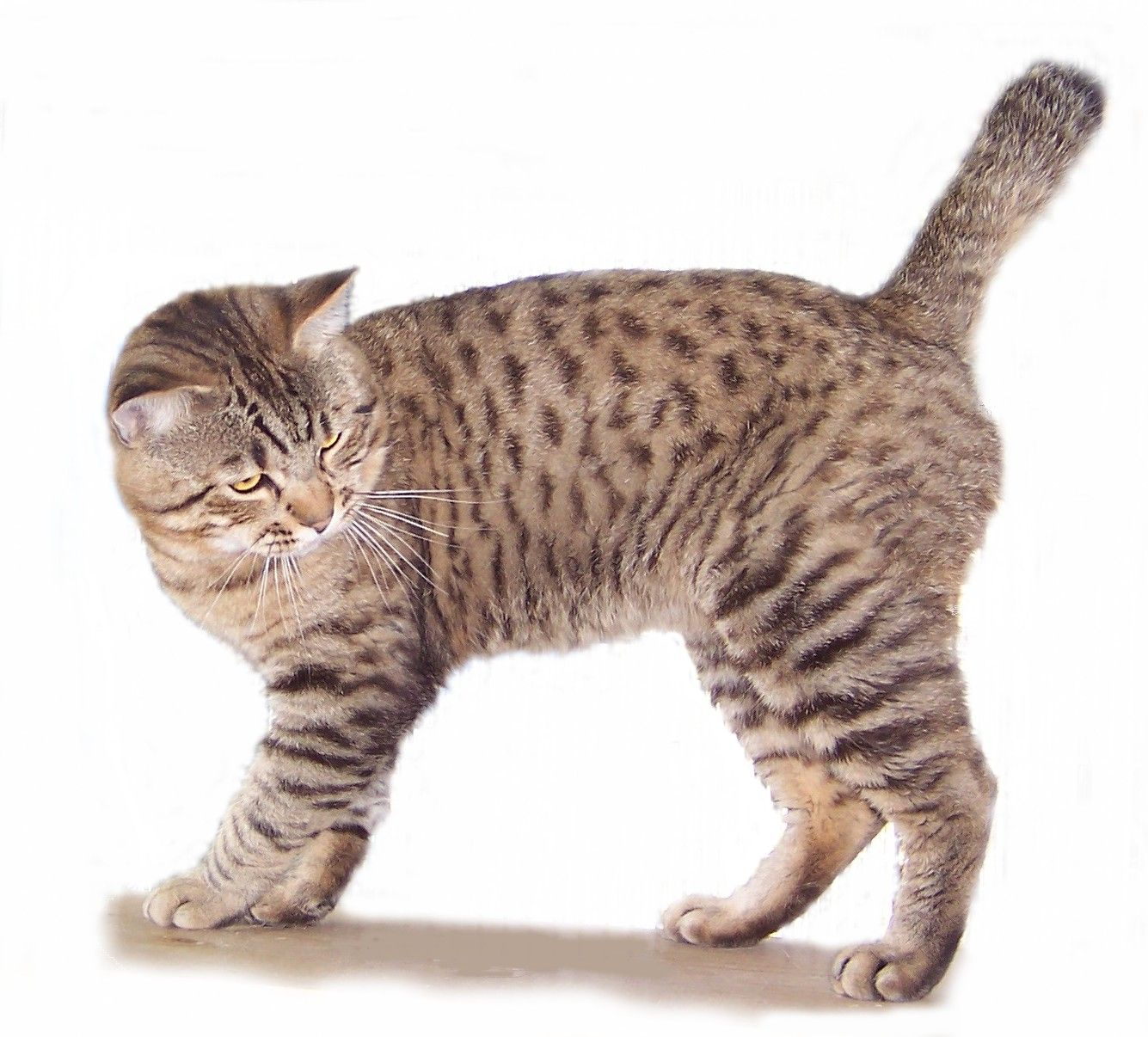American Bobtail Cat The American Bobtail Cat Is An Uncommon Breed Of Domestic Cat Which Was Developed In The Late American Bobtail Cat Bobtail Cat Cat Breeds