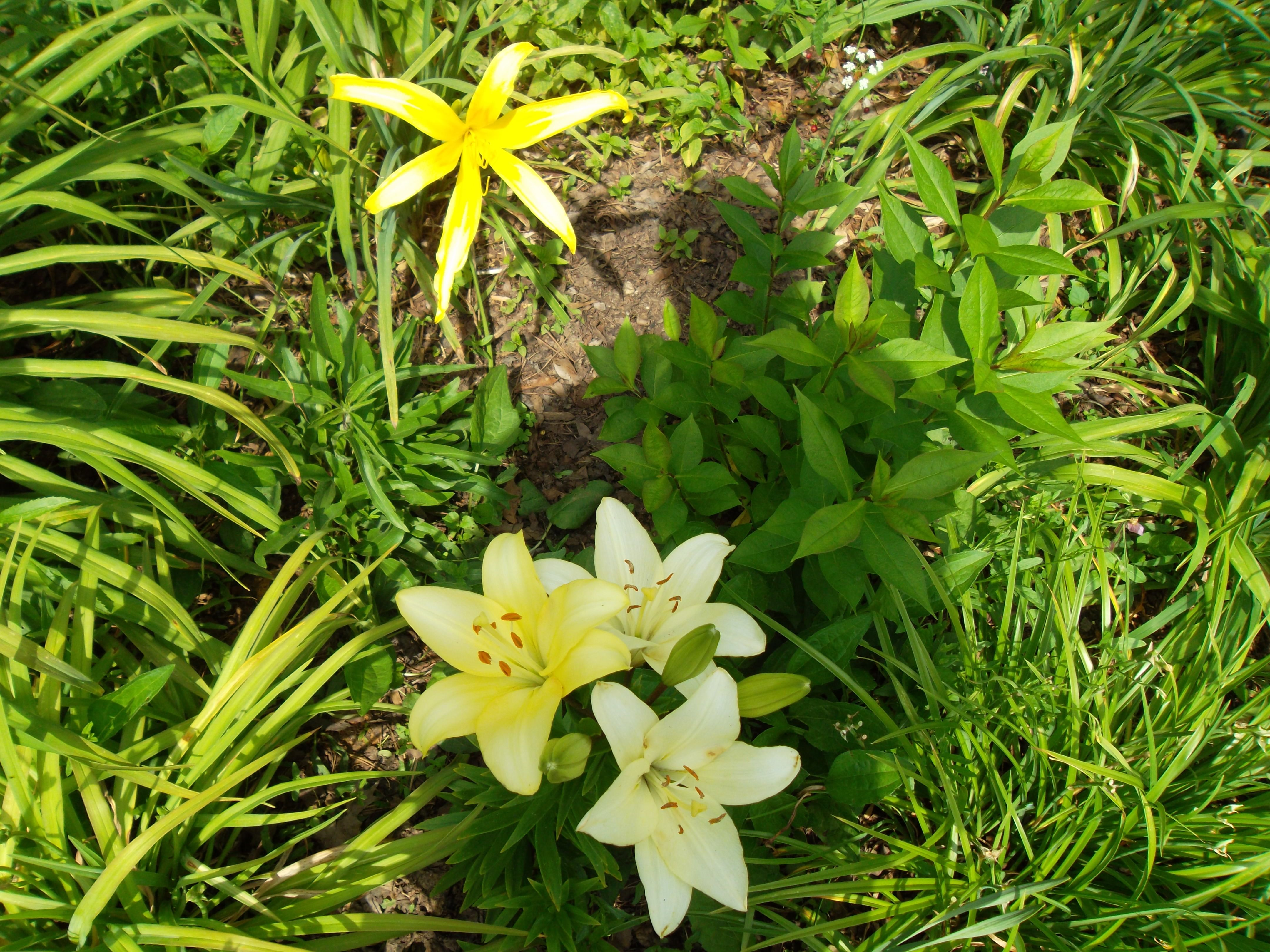 Lilies and Spider Daylily, Spring 2012, PGipson