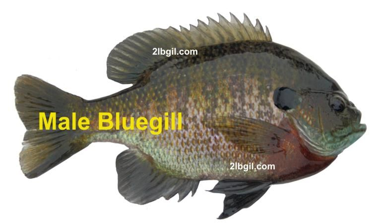 Male bluegill in spawning colors bluegill fishing for Bluegill fish tank