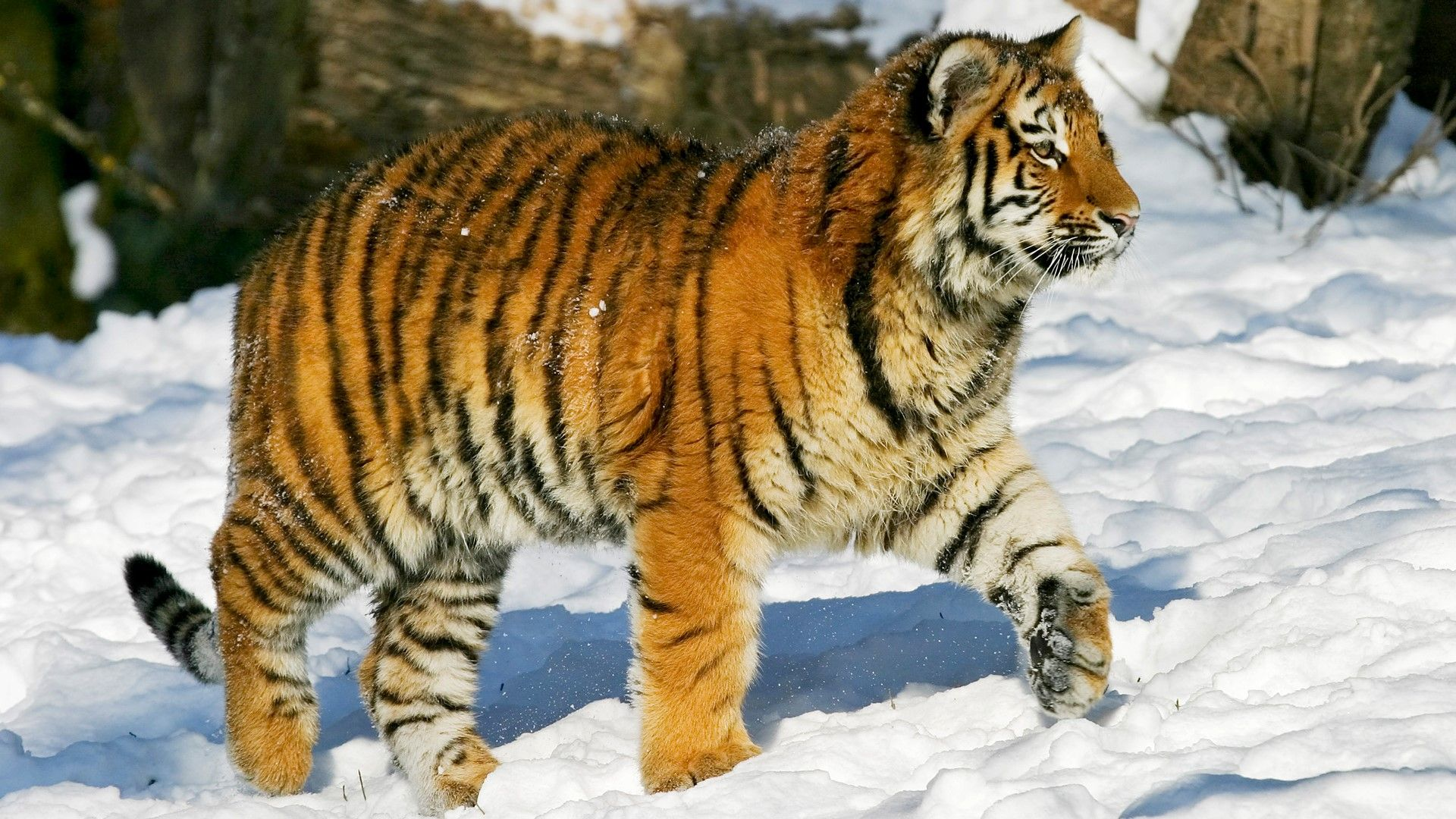 A Siberian Tiger Taking A Stroll In The Snow Siberian Tiger Tiger Panthera