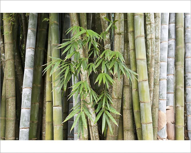 Photograph Bamboo Thick Stems And Leaves Nahampoana Reserve
