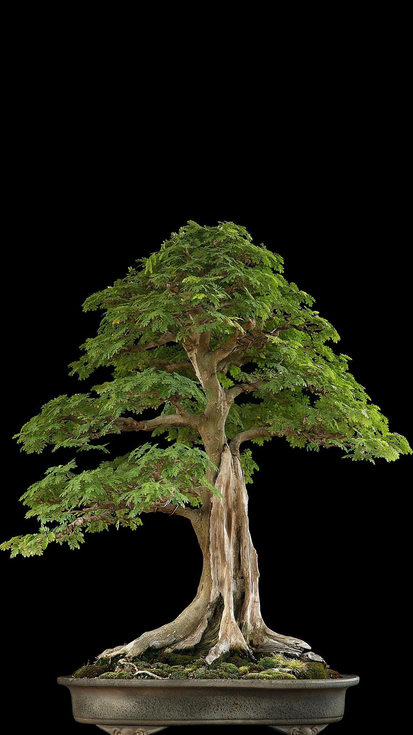 Bonsai Tree Wallpaper : bonsai, wallpaper, Bonsai, Types,, Tree,, Plants