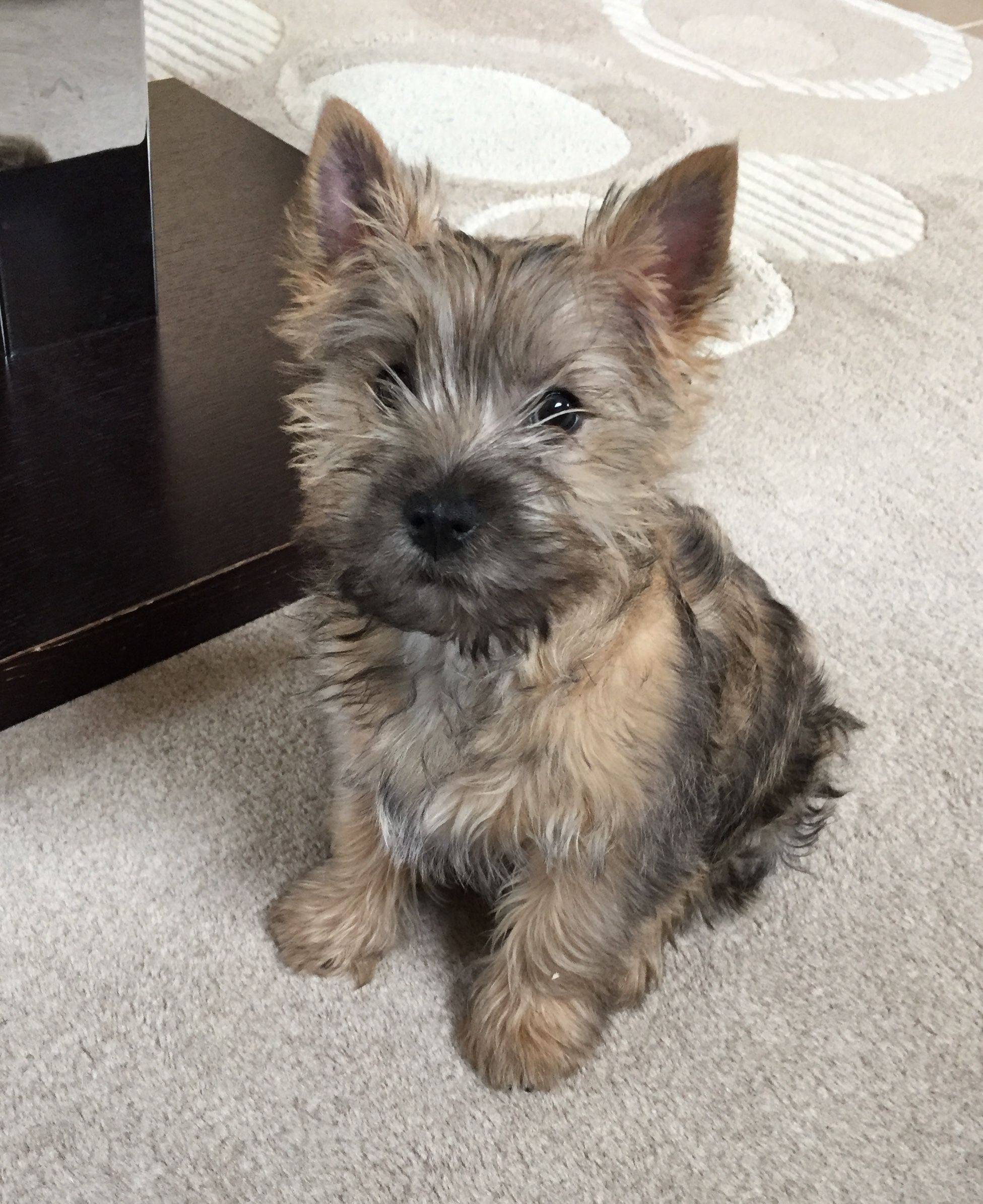 What A Cute Pup Cairn Terrier Puppies Terrier Puppies Cairn