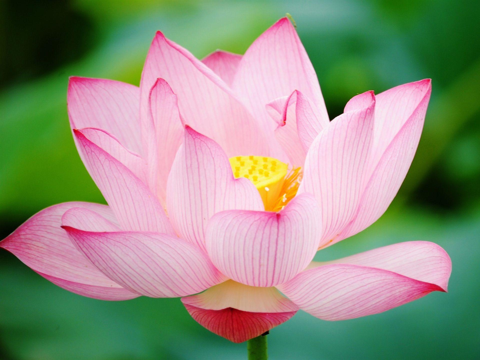 цивилизация фото цветка розовый лотос хорошо