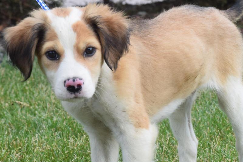 Adopt Dennis On Australian Shepherd Shepherd Mix Dog Australian Shepherd Mix