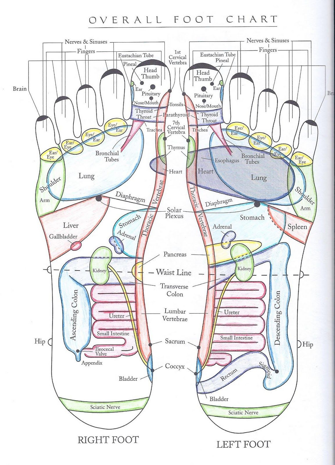 Erin hanson licensed massage therapist an introduction to foot overall foot chart vita flex pooptronica
