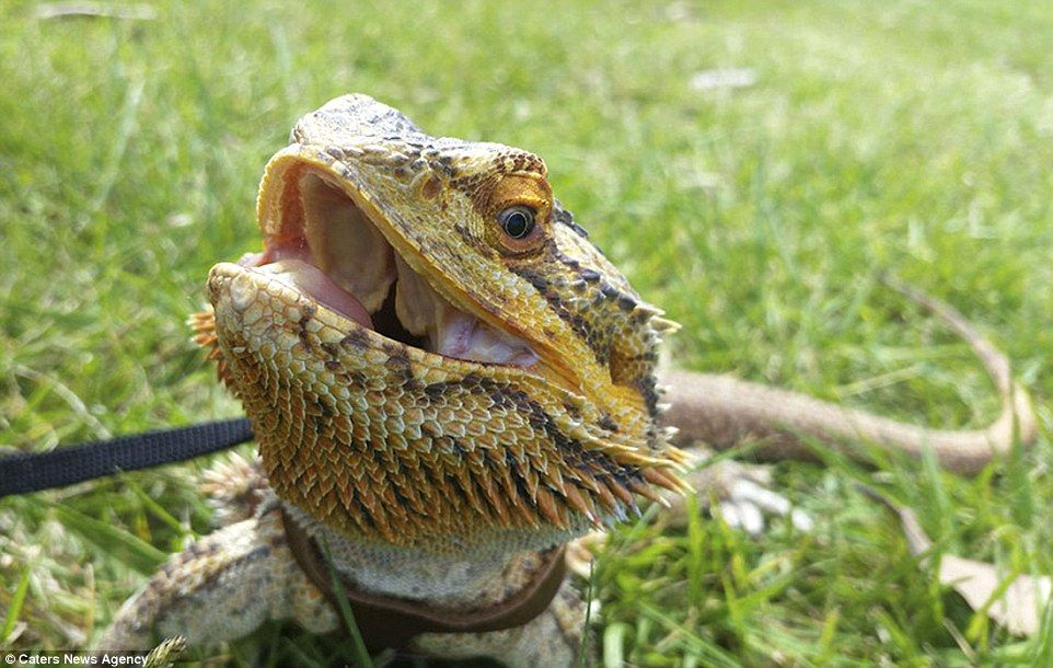 His Owner Sophie Describes Him As A Very Friendly Lizard And Good With Children Animals Small Pets Bearded Dragon
