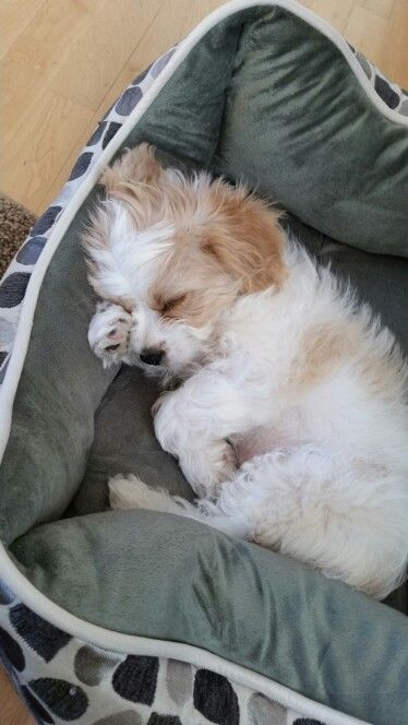 Buddy S A Cavachon Cute Puppies Puppies Cavachon