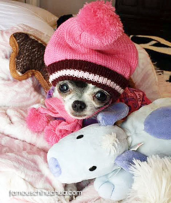 Shop for cute and affordable chihuahua clothes on sale and ...