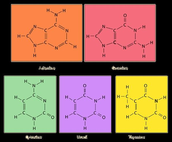 nitrogenous bases science pinterest dna biochemistry and science