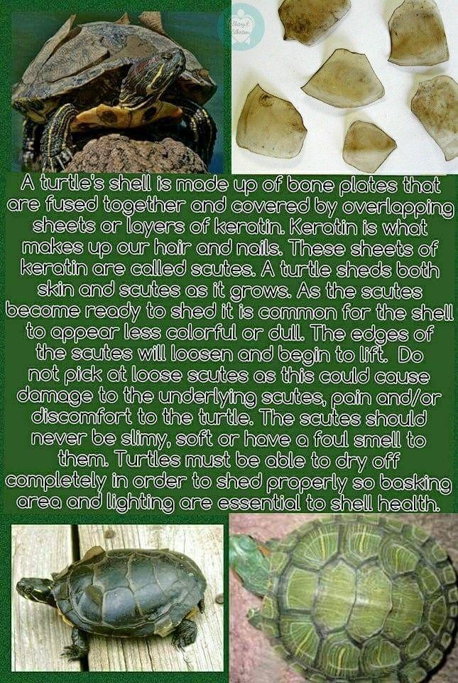Turtle Shell Scutes Shedding Turtle Shell Turtle Pet Turtle Care