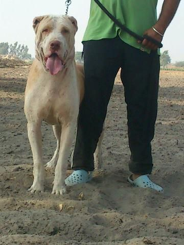 Bully Kutta From Pakistan Dog Games What Kind Of Dog Dog Lovers