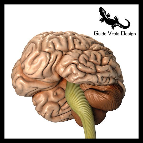 Accurate human brain 3d model brain 3d and anatomy detailed human brain 3d model by guido vrola design on cgtrader ccuart Choice Image