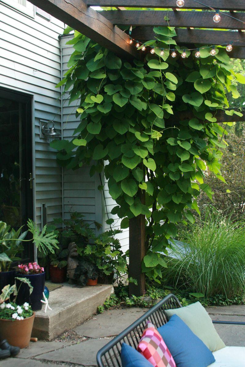 Dutchman's pipe vine (Aristolochia macrophylla, USDA Hardiness ...