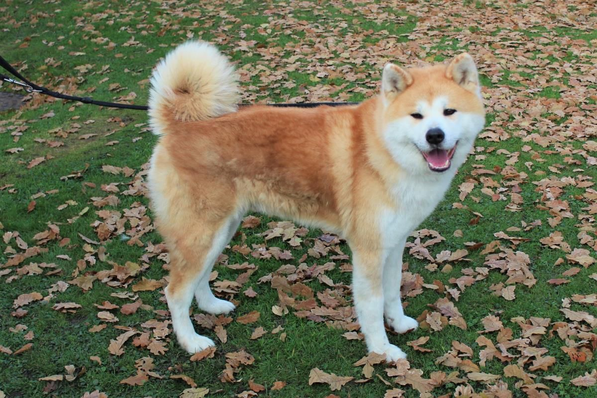 Pin By Rescue Pets On Dogs Akitas In Rescue Dog School Dog Friends Dog Adoption
