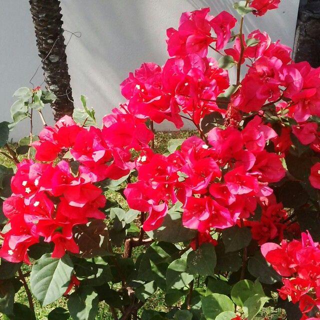 Veraneras rojas poco comunes veraneras pinterest for Que significa plantas ornamentales