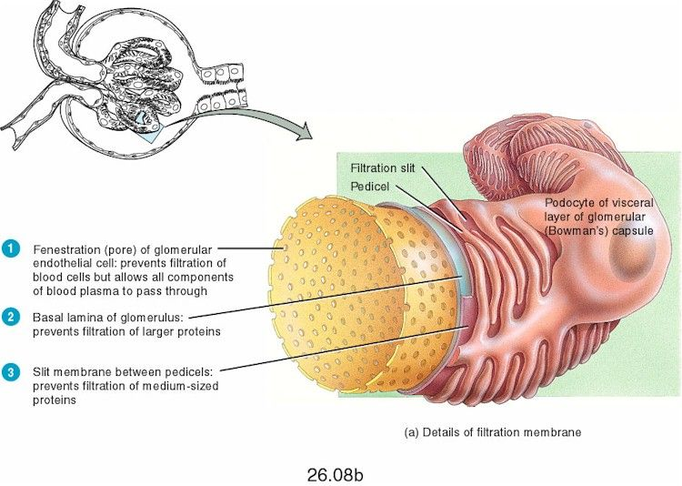 Filtration Membrane Histology Pinterest