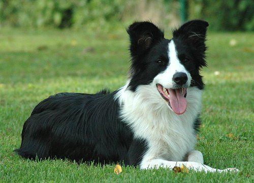 The Rustling Rose Wendevick Artdeco Dott Border Collie Pups