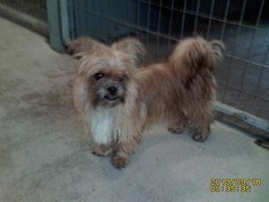 I Found Cinnamon 13 199 On Petfinder Yorkie Dogs Yorkshire